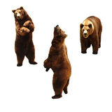 Brunbjörn på vit Royaltyfri Bild