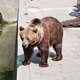 Brunbjörn på zoo Arkivfoton