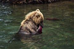 Brunbjörn som äter fisken som fångas halvö i för sjön, Kamchatka, Ryssland royaltyfri foto