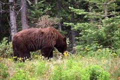 Brunbjörn som äter maskrosen, Alaska Royaltyfria Bilder