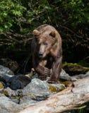Brunbjörn som går ner The Creek Fotografering för Bildbyråer