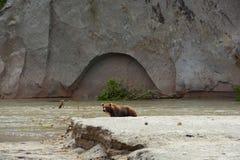 Brunbjörn som går på kusten Royaltyfria Bilder