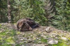 Brunbjörn som lägger i skogen Royaltyfri Foto