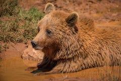 Brunbjörn som ligger i gyttja i solsken royaltyfri fotografi