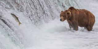 Brunbjörn som ser Salmon Jumping upp nedgångarna Arkivbilder