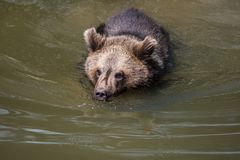 Brunbjörn som simmar i floden arkivfoto