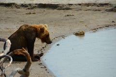 Brunbjörn som sitter på kusten Arkivbild