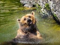 Brunbjörn som skakar av vatten Arkivbild