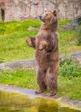 Brunbjörn som står på dess bakre ben Royaltyfria Bilder