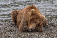 Brunbjörn som tar en ta sig en tupplur Royaltyfria Bilder