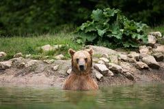 Brunbjörn som tar ett bad i sjön royaltyfri foto