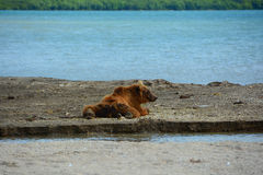 Brunbjörn som vilar i kusten Arkivbild