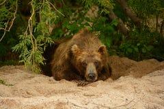 Brunbjörn som vilar på kusten av sjön kamchatka Arkivbilder