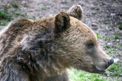 Brunbjörn Transylvania, Rumänien arkivfoto