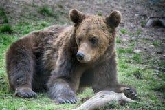 Brunbjörn Transylvania, Rumänien arkivbilder