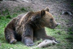 Brunbjörn Transylvania, Rumänien royaltyfri foto