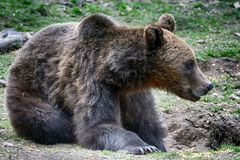 Brunbjörn Transylvania, Rumänien arkivbild