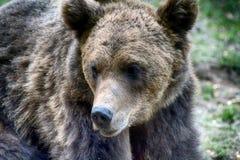 Brunbjörn Transylvania, Rumänien fotografering för bildbyråer