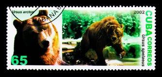 Brunbjörn (Ursusarctos), grottabjörn (Ursusspelaeusen), Prehistor Royaltyfria Foton