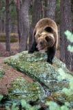 Brunbjörn (Ursusarctos) i vinterskog Arkivfoton