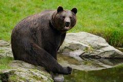 Brunbjörn Ursusarctos som sitter på stenen, nära vattendammet arkivbild