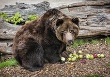 Brunbjörn - Ursusarctosarctos - som poserar och äter äpplen Royaltyfri Foto