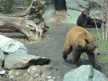 Brunbjörn ut för en gå Royaltyfria Foton