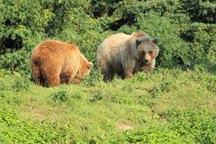 Brunbjörnar Royaltyfria Bilder
