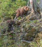 Brunbjörnar Royaltyfri Fotografi