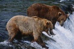 Brunbjörnar för USA Alaska Katmai nationalpark som två fångar laxanseende i floden ovanför vattenfallsidosikt royaltyfri fotografi
