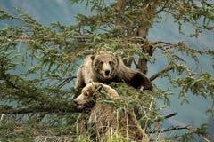Brunbjörnar på ett träd Arkivbild
