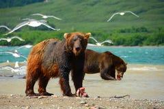 Brunbjörnar som äter den lösa laxen Royaltyfri Foto