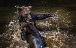 Brunbjörnar som slåss i floden arkivbild