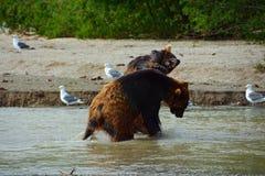 Brunbjörnar som slåss i vatten Royaltyfria Foton