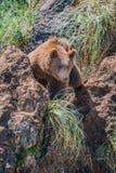 Brunbjörnblickar till och med gullyen between vaggar royaltyfria bilder