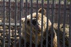 Brunbjörnen i stängerna för zoolizhitmetall fäktar Royaltyfri Bild