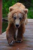 Brunbjörnen kom till folket Royaltyfri Foto