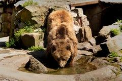 Brunbjörnen söker efter ett passande ställe var det inte finns något varmt solljus arkivbilder