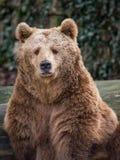 Brunbjörnen ser mig Arkivfoton