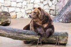 Brunbjörnen sitter avkopplat Royaltyfri Foto