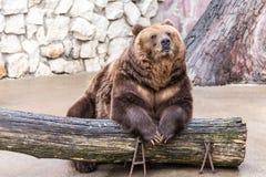 Brunbjörnen sitter avkopplat Arkivbild
