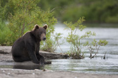Brunbjörnen sitter på flodbanken arkivfoto