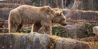 Brunbjörnen sitter på vaggar i Bayerischer Wald nationalparkTyskland fotografering för bildbyråer