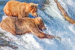 Brunbjörnen som försöker att fånga banhoppninglaxen på bäckar, faller, Katma Arkivbild