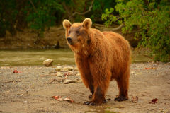 Brunbjörnen som går på kusten Arkivbild