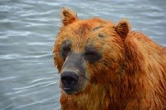 Brunbjörnen som sitter i vattnet Arkivfoto