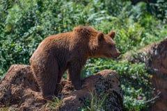 Brunbjörnen som står på, vaggar i undervegetation royaltyfri foto