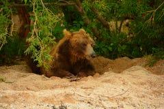 Brunbjörnen som vilar i buskarna Royaltyfri Foto