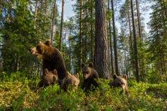 Brunbjörnfamilj i finlandssvensk skog Royaltyfri Fotografi