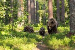 Brunbjörnfamilj i finlandssvensk skog Royaltyfri Foto